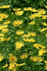 Doronicum 'Kamoi' 5 th